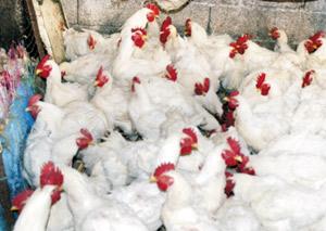 Le prix du poulet appelé à augmenter