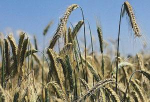 Une production céréalière de 68 millions de quintaux prévue pour 2010