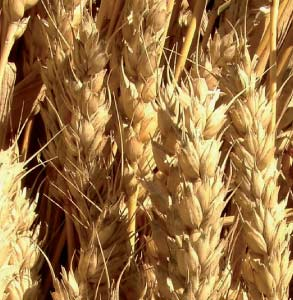 Les Marocains consomment du blé latino