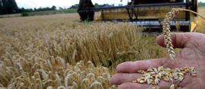 Le stock de blé tendre couvre 4 mois des besoins industriels