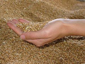 Marché des céréales : Une collecte de 22 Mqx et des importations de 36 Mqx