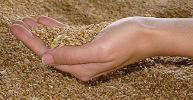 Céréales : Plus de 11 millions de quintaux collectés à fin juin