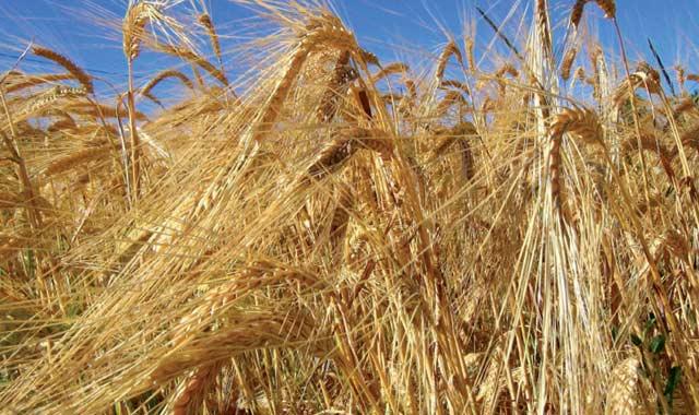 Maroc : 6,6 millions de dollars pour le renforcement de la capacité  de mouture des cultures de blé dur