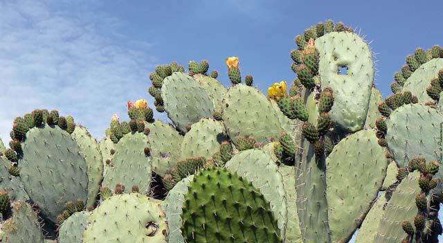 Cactus, safran et dattes, premiers bénéficiaires de l agriculture solidaire