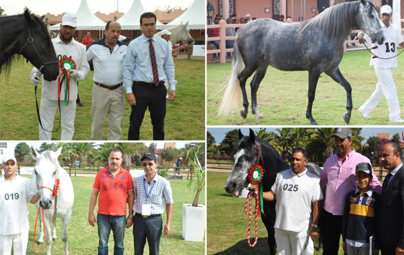 Concours de l'élevage des chevaux Barbe: 169 éleveurs contribuent au succès  de l'étape de Bouznika
