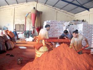 La culture du niora dans le périmètre du Tadla