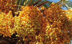 Guelmim : Les dattes à l'honneur