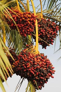 Tafilalet : La production des dattes devrait atteindre 32.000 T