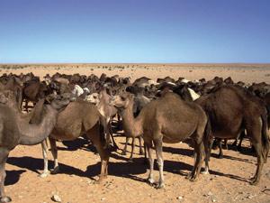 Sensibiliser les éleveurs à la nécessité de moderniser la production animalière