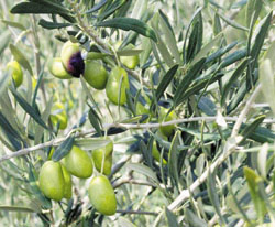 Agro-industrie : Olive : exportations en forte hausse