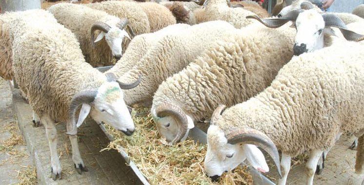 Tanger : Trente moutons périssent étouffés dans une étable