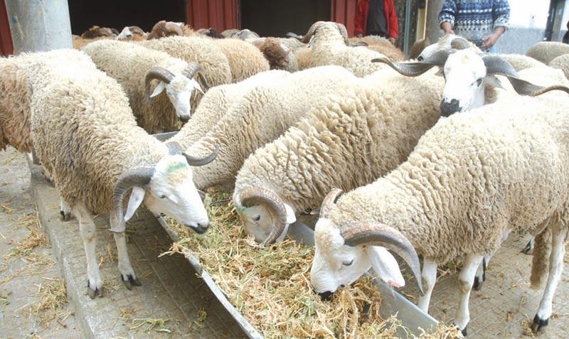 Province d'Es-Smara: 20 MDH alloués au projet d'élevage ovin et caprin