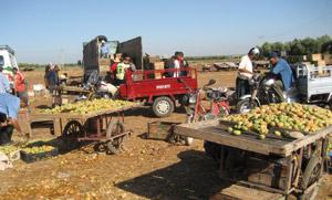 Beni Mellal : le commerce des figues de barbarie fleurit pendant le Ramadan