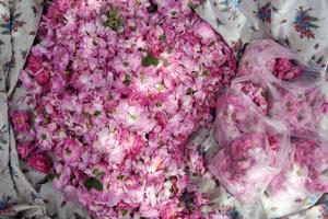 La «rosa Damascena» en quête de valorisation