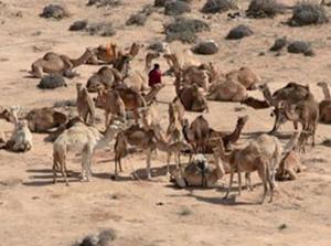 Smara : Limiter les effets de la sécheresse sur l'élevage