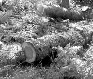 Environnement : Al-Hoceïma : Alerte sur la cédraie de Jbel Tidighine