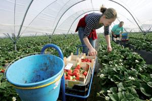 Dans les fermes de Huelva : La dure saison de la cueillette des fraises