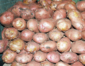 Agriculture : Flambée des prix des pommes de terre