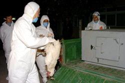 Grippe aviaire : ce qu'il faut savoir