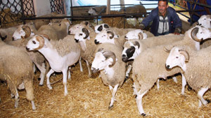 Aïd Al Adha : le Sardi entre 40 et 45 DH le kilo