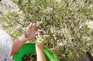 Salon international de l'olivier : les exportations nationales atteindront 6 MMDH en 2020