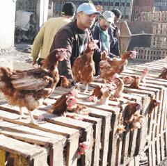 Le spectre de la grippe aviaire refait surface