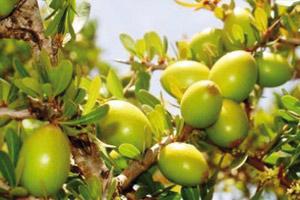 Souss-Massa-Drâa  : l'indication géographique protégée «Argane» est opérationnelle