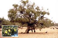 Arganier : L'arbre qui cache la forêt