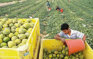 Agadir : assurer une protection intégrée en vergers d'agrumes