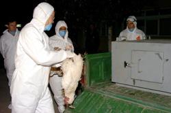 Grippe aviaire : le plan du Maroc