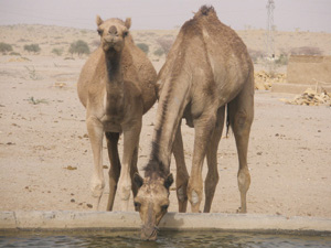 Dakhla : Près de 100 millions DH pour le développement de la filière cameline