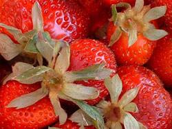 Événement : La fraise marocaine reste en Europe