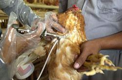 Attention, la grippe aviaire arrive !