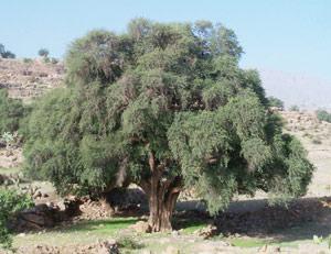 Agadir : Arganier : De grandes perspectives grâce à la recherche scientifique