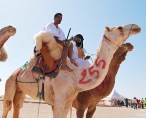 Dakhla : Le Plan Maroc Vert consacre 100 MDH à l'élevage camelin