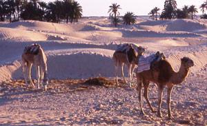 Oued Eddahab-Lagouira : de nouvelles mesures pour soutenir les éleveurs et les agriculteurs