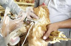 Grippe aviaire : le Maroc met le paquet