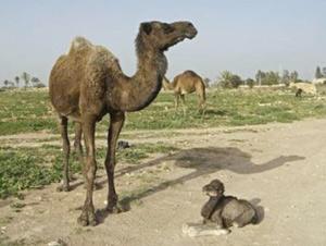 Dakhla : Vers l'amélioration de la production cameline