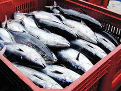 Pêche : Thon : le quota du Maroc réduit