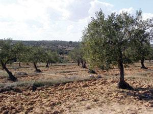 Guercif, capitale des olives