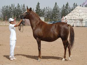 28ème concours d'élevage à Oujda : Une qualité des chevaux barbes et arabes-barbes au top niveau