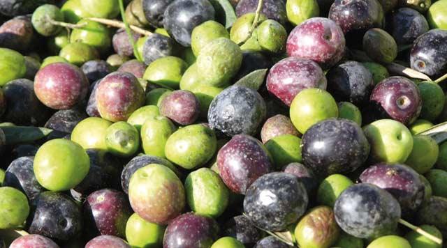 Bonne récolte d olives en Oriental