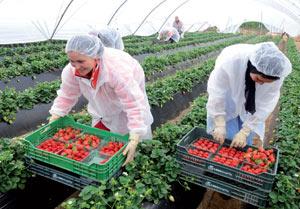 Saisonnières marocaines en Espagne : Les autorités espagnoles réduisent les effectifs de 60%