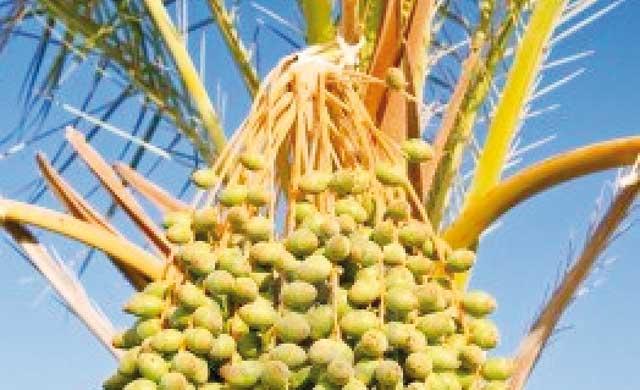 Palmiers dattiers : L expérience  émiratie