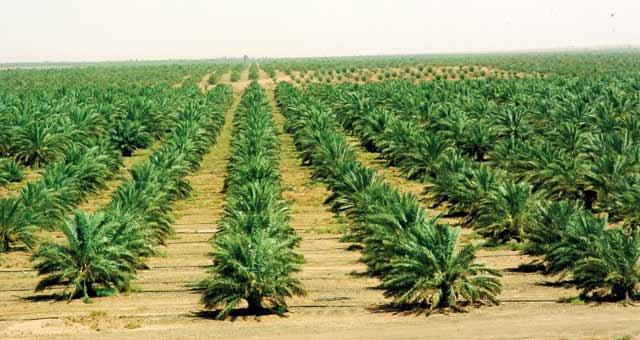 Phoeniciculture, Objectif: Plantation de 2,9 millions de palmiers à l horizon 2020