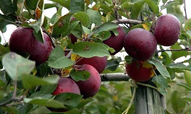 Festival de la pomme d'Imouzzer Kandar : Une 13-ème édition alliant art, culture et promotion économique
