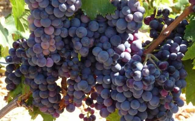 7ème édition de la saison du raisin à la commune Cherrate (Bouznika)