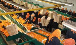 Berkane : Des indicateurs au vert pour les agrumes