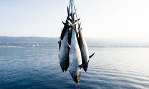 Pêche : un thon rouge 100% d'élevage au Japon