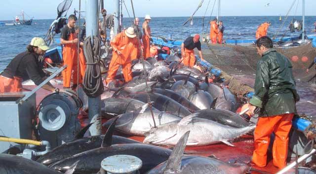 Le Maroc  partenaire de la CICTA dans la préservation du thon rouge de l Atlantique